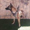 فروش سگ بلژین مالینویز نر