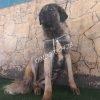 سگ سرابی ذات قدیم ( مو بلند )