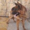 فروش سگ ژرمن شپرد نر و ماده
